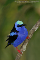 Cyanerpes cyaneus - Red-legged Honeycreeper
