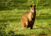 Wallabia bicolor - Swamp Wallaby