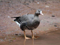 Image of: Anser albifrons (greater white-fronted goose)