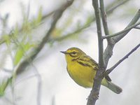 Prairie Warbler (Dendroica discolor) photo