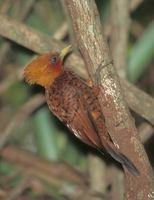 Chestnut-colored Woodpecker (Celeus castaneus) photo