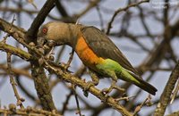 Red-bellied Parrot - Poicephalus rufiventris