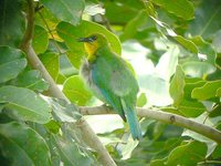Yellow-throated Leafbird - Chloropsis palawanensis