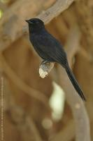 Northern Black Flycatcher, Melaenornis edolioides