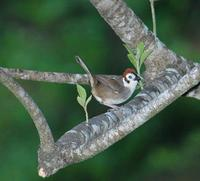 Prevosts Ground-Sparrow (2); El Paval, Chiapas, MX (WEB ).jpg