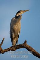 Black headed Heron sitting on a branch stock photo