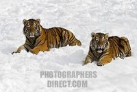 Young Siberian Tigers ( Panthera tigris altaica ) in snow stock photo