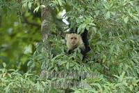White faced Capuchin Monkey ( Cebus capucinus ) stock photo