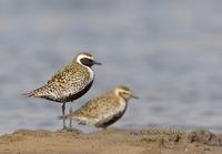 Pacific golden plover C20D 02343.jpg
