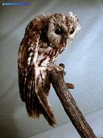올빼미 Strix aluco Korean Wood Owl