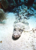 : Cymbocephalus beauforti; Crocodile Fish