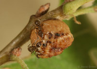 : Disholcaspis eldoradensis; Honey Dew Gall Wasp;