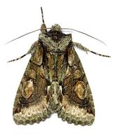 Allophyes oxyacanthae - Green-brindled Crescent