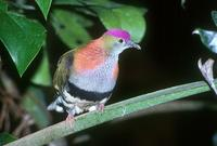 Ptilinopus superbus - Superb Fruit-Dove