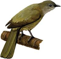 Image of: Andropadus masukuensis (Shelley's greenbul)