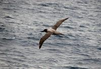 Image of: Phoebetria palpebrata (light-mantled albatross)