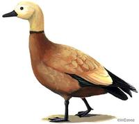 Image of: Tadorna ferruginea (ruddy shelduck)