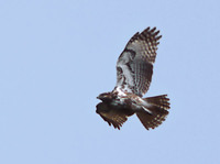 Madagascar Buzzard (Buteo brachypterus) photo