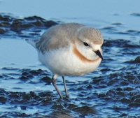 Chestnut-banded Plover - Charadrius pallidus