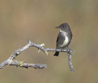 Olive-sided Flycatcher (Contopus cooperi) photo