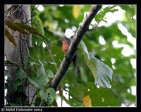 Chestnut-breasted Cuckoo - Cacomantis castaneiventris