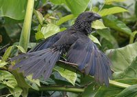 Smooth-billed Ani - Crotophaga ani