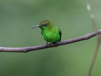 Coppery-headed Emerald - Elvira cupreiceps