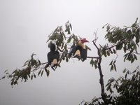 Writhed Hornbill - Aceros leucocephalus