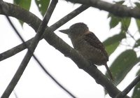Barred Puffbird - Nystalus radiatus