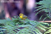 Golden Babbler - Stachyris chrysaea