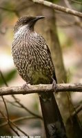 Brush Wattlebird - Anthochaera chrysoptera