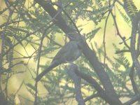 Five-striped Sparrow - Aimophila quinquestriata