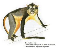 Crowned monkey