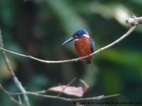 Blue-eared Kingfisher, Alcedo meninting