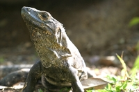 : Ctenosaura similis; Spiny-tailed Iguana