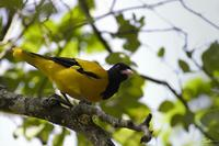 Oriolus xanthornus  Black-hooded Oriole photo