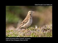 Richards Pipit - Anthus richardii - Bisbita de Richard - Piula Grossa