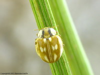 Myzia oblongoguttata - Striped Ladybird