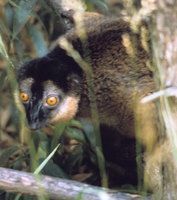 Red-collared lemur (Eulemur collaris)