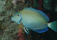 Acanthurus bahianus, Ocean surgeon: fisheries, aquarium, bait