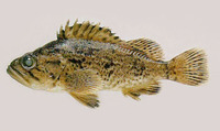 Sebastes schlegelii, Korean rockfish: fisheries, aquaculture, aquarium