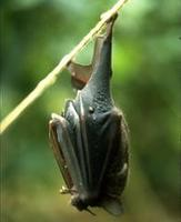 Image of: Carollia perspicillata (Seba's short-tailed bat)