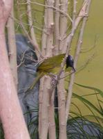 Image of: Hypergerus atriceps (oriole-warbler)