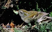 Image of: Spizella pusilla (field sparrow)