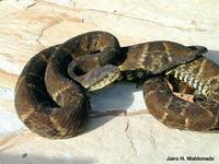 Image of: Bothrops atrox (common lancehead)