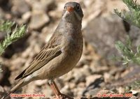 Grey-necked Bunting - Emberiza buchanani