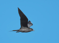 Parasitic Jaeger (Stercorarius parasiticus) photo