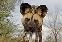 african wild dog ( Lycaon pictus ) , Africa , Namibia stock photo