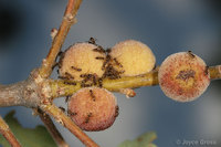 : Disholcaspis canescens; Round Honeydew Gall Wasp;