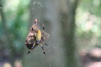 : Nephila clavipes; Golden-silk Spider